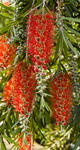 Bottlebrush_8904