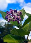 PurpleStarFlower_0583