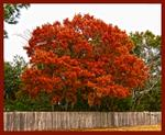 Red-Maple_1070