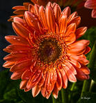GeberaSalmonColorDaisy_1669