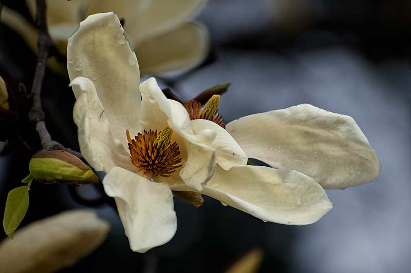 _DSC0483-Magnolia-bloom