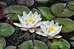 _DSC6493-waterlily-duo