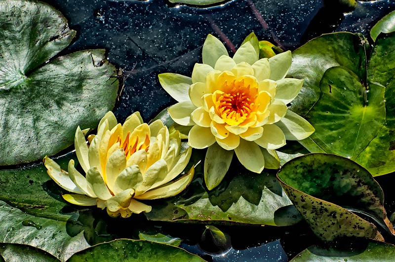 _DSC6496-yellow-waterlily-duo