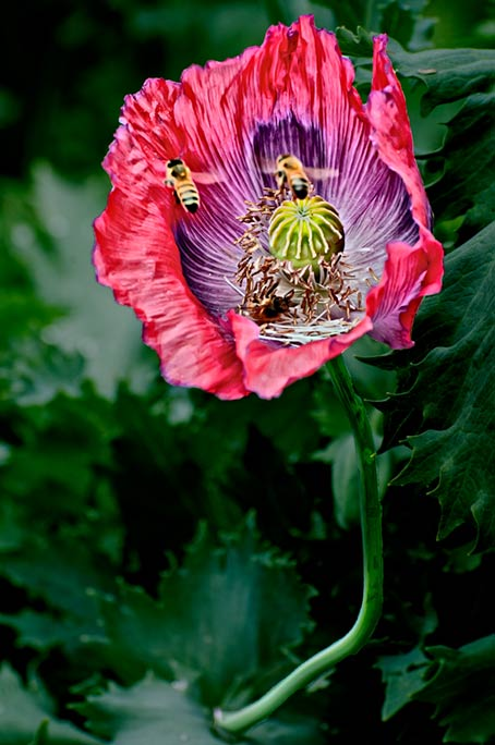 _DSC4672-Poppy-with-2-bees