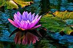 _DSC9032-Bold-waterlily