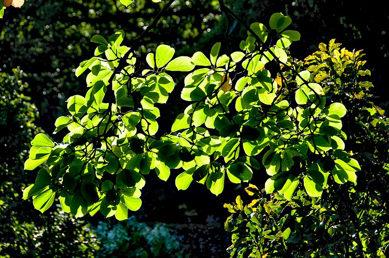 _DSC8970-backlit-leaves