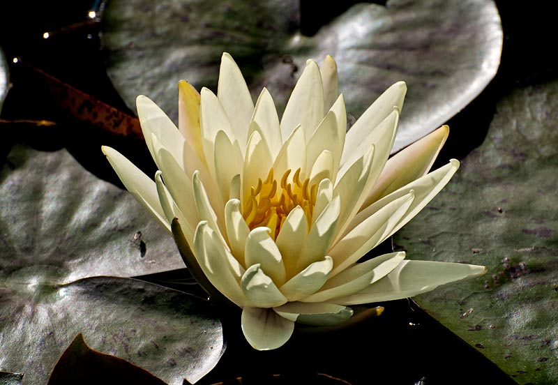 _DSC9053-bright-waterlily