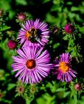 _DSC8966-bee-on-fall-flowers