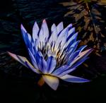 _DSC9015-purple-waterlily