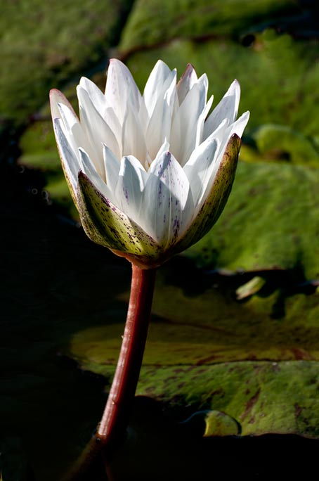 _DSC9057-vertical-white-waterlily