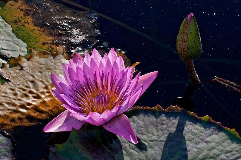 _DSC0306-waterlily