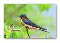 Swallow-2