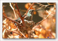 Humming Bird on Nest with baby