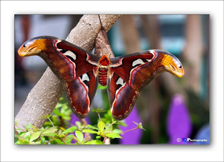 Atlas Moth 6