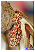 Atlas Moth 5