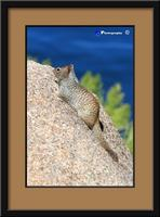 Rock Squirrel -3 -1