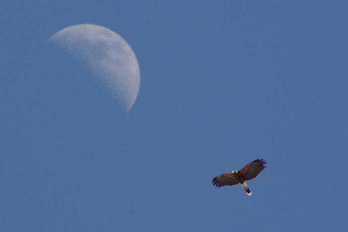 Harris's Hawk with Moon