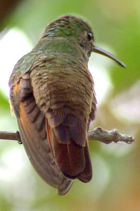 Berylline Hummingbird, another view