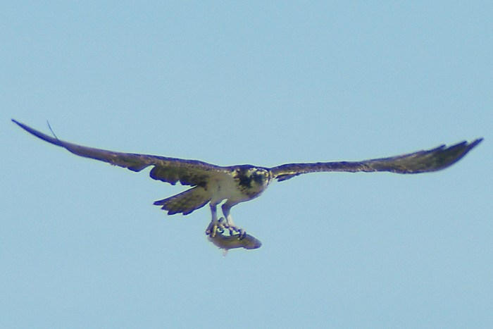 Osprey - He got one!