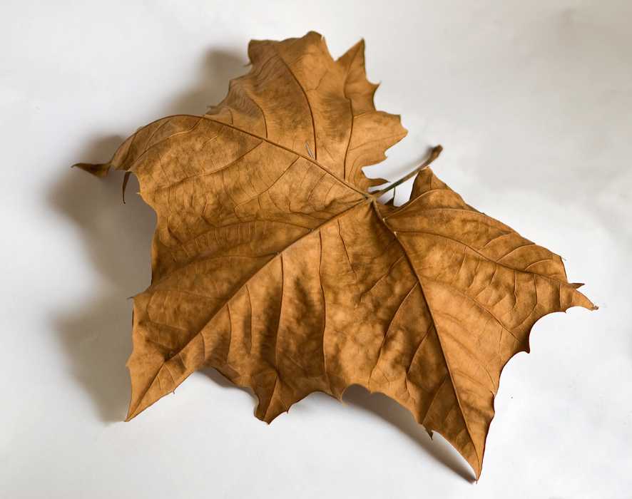 Dried-Leaf_8337