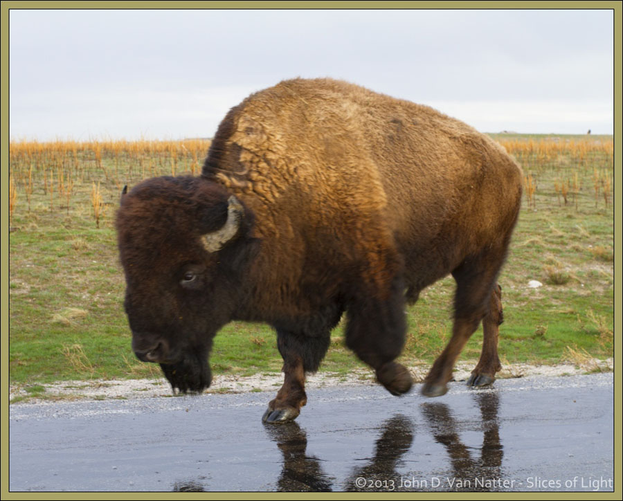 Ikzook Bison 2