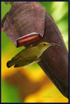 Thick-billed Spiderhunter 01